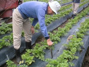 写真3 土壌診断スコップによる土壌試料採取